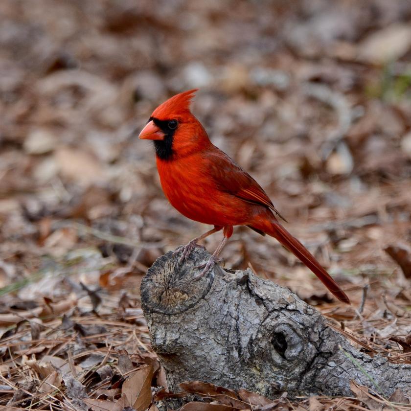 Northern Cardinal - Ed Konrad