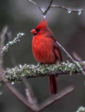 Northern Cardinal - Charles Moore