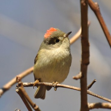 Ruby-crowned Kinglet - Ed Konrad