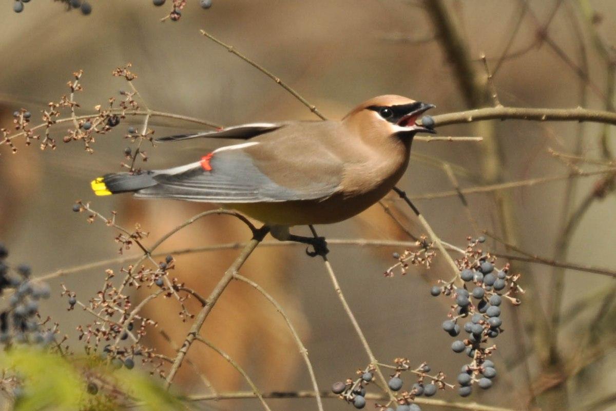 """SIB """"Bird of the Week"""" – CedarWaxwing"""