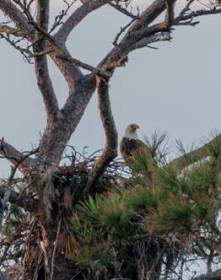 Bald Eagle on nest - C Moore