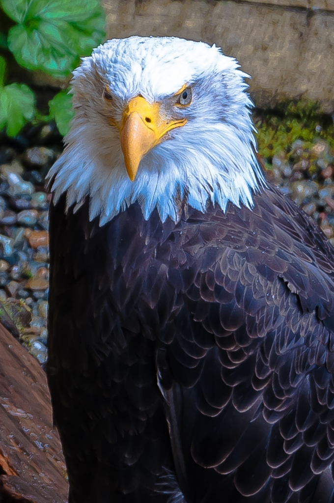 Bald Eagle - C Moore