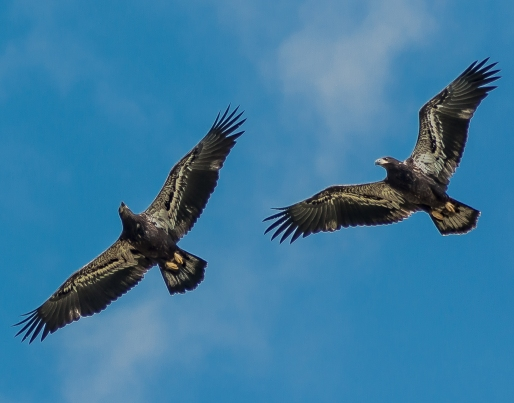 Immature Bald Eagles - C Moore