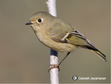 Ruby-crowned Kinglet - file photo