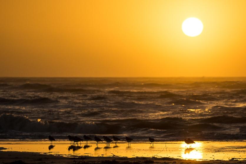 American Oystercatchers at Sunrise on North Beach - Ed Konrad
