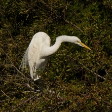 Great Egret on Jenkins Point - Ed Konrad