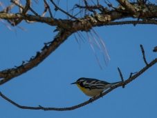 Yellow-throated Warbler high in a pine tree on Jenkins Point - Ed Konrad