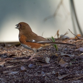 Eastern Towhee feeding on the ground in a yard on the 17th hole - Valerie Doane