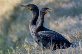 """Which way did he go?"" Double-crested Cormorants - Valerie Doane"