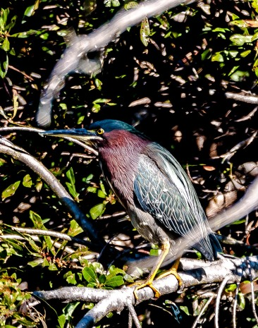 Green Heron on the bank of Palmetto Lake - Charles Moore