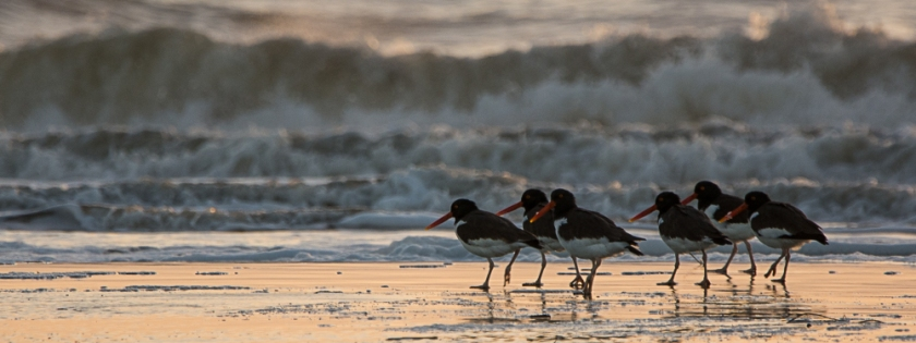 American Oystercatchers on North Beach - Ed Konrad