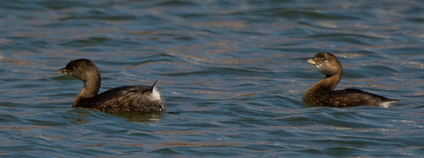 Pied-billed Grebes in Palmetto Lake - Ed Konrad