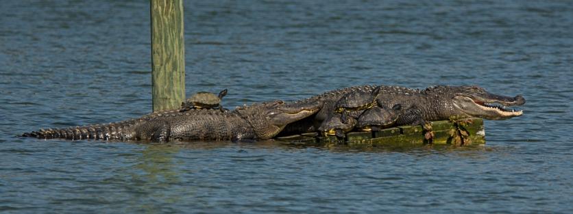 Alligators and turtles enjoying the beautiful day - Ed Konrad