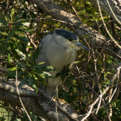 Black-crowned Night-Heron hiding in the shrubs next to Palmetto Lake - Ed Konrad