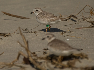 "Piping Plovers on North Beach including one with ""jewelry"" - Ed Konrad"