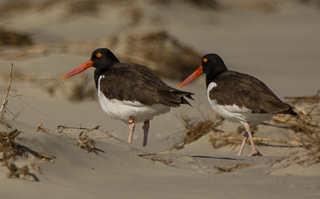 "American Oystercatchers on North Beach including our infamous ""U5"" on the left - Ed Konrad"