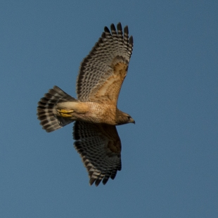 Red-shouldered Hawk flying above the Equestrian Center - Ed Konrad