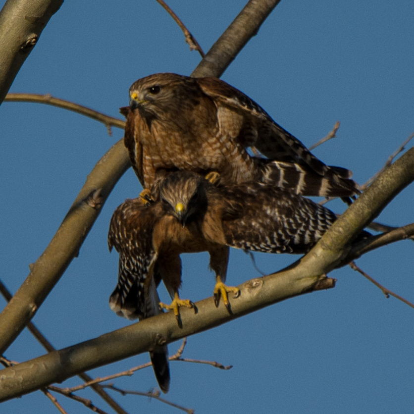 """""""The Birds & the Bees"""" as demonstrated by Red-shouldered Hawks at the Equestrian Center - Ed Konrad"""