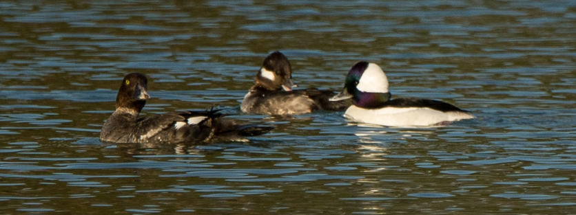 Common Goldeneye (which aren't that common!) along with Bufflehead on the water treatment pond - Ed Konrad