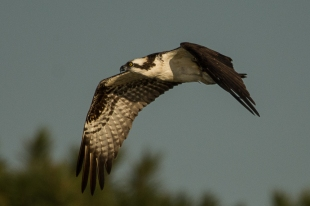 Osprey flying overhead - Ed Konrad