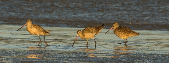 Marbled Godwits on North Beach - Ed Konrad