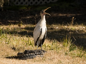 """Best friends - for now!"" Wood Stork sitting next to an American Aligator"