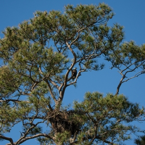 Pine tree on 3rd hole of Crooked Oaks with Bald Eagle sitting above its nest - Ed Konrad