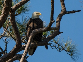 Bald Eagle sitting above its nest in a large pine hear the yellow tee-box on #3 Crooked Oaks - Ed Konrad