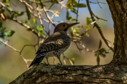 Northern Flicker - Ed Konrad