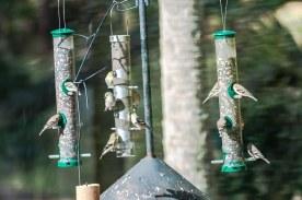 American Goldfines on tube feeders in their winter plumage - C Moore