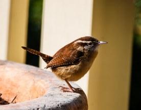 Carolina Wren at a birdbath - C Moore