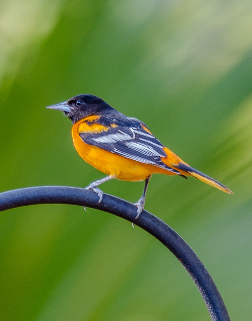 Baltimore Oriole taken at the feeders of Jim & Donna Lawrence by Charles Moore