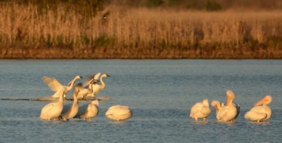 White Pelicans and Tundra Swans - Ed Konrad