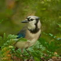 Blue Jay - Ed Konrad