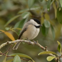 Carolina Chickadee - Ed Konrad