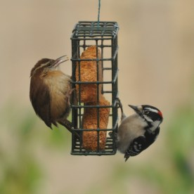 Carolina Wren & Downy Woodpecker - Ed Konrad