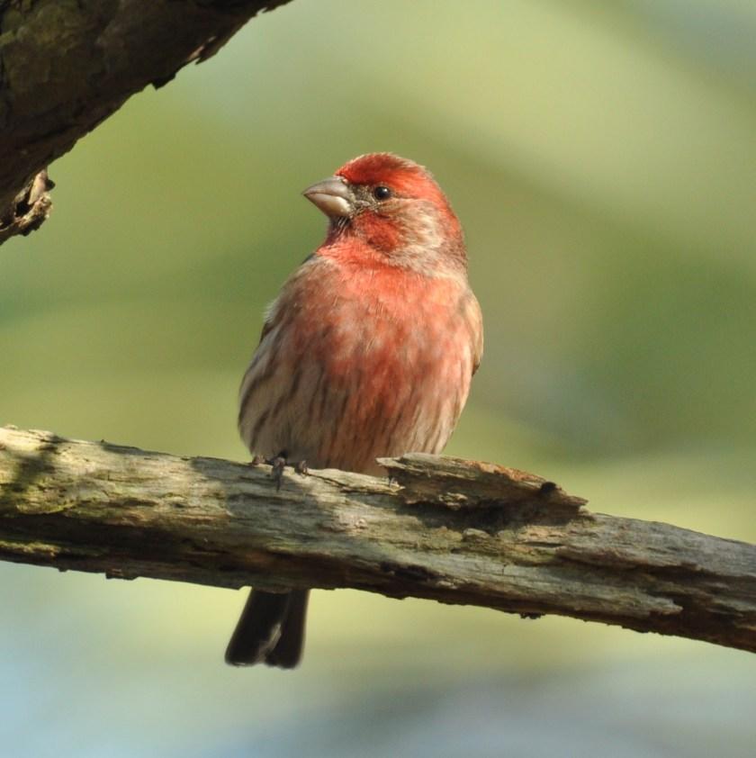 "W Finch Leatherhead SIB ""Bird of the Wee..."