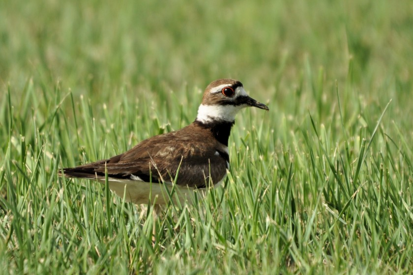 Killdeer in a field - Ed Konrad