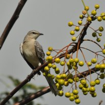 Northern Mockingbird - Ed Konrad
