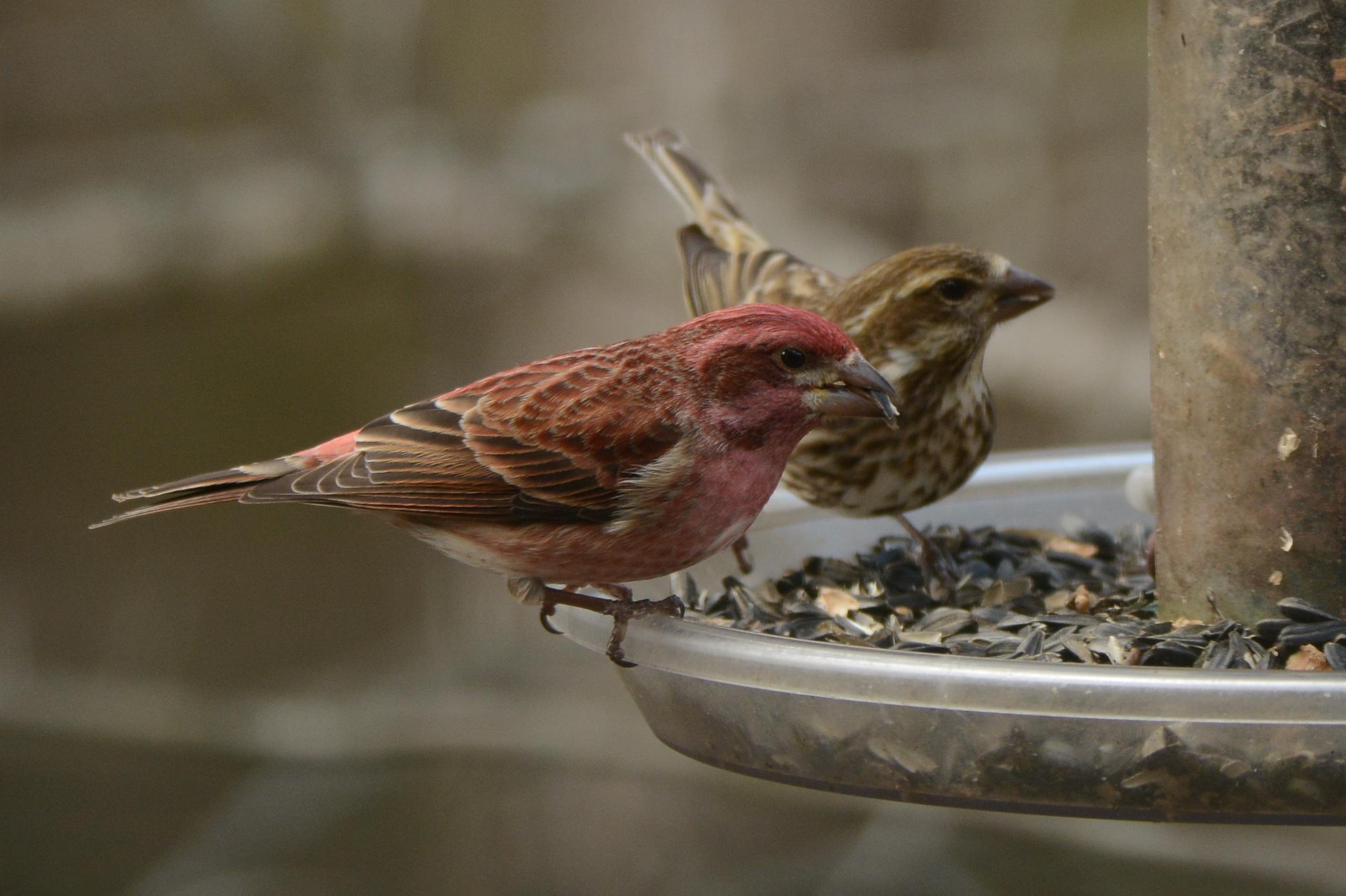 """sib """"bird of the week"""" – house finch vs. purple finch – sib"""