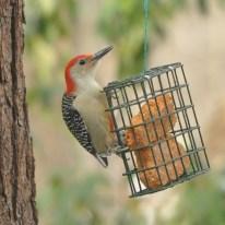 Red-bellied Woodpecker - Ed Konrad