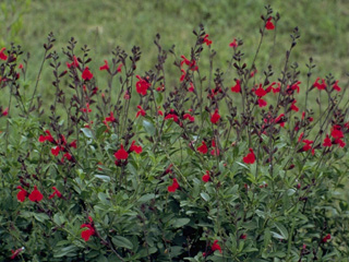 Salvia greggii - Gregg's Salvia - A short-statured bush that flowers throughout the season, is not invasive and is native to Texas.