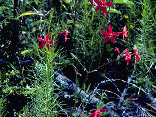 Silene subcilliata - Smooth Scarlet Catchfly - native to east Texas. Not invasive. This species is one of the only reliably perennial red-flowered catchflies. Flowers in the fall. (Not commonly commercially available but is available from Plant Delights -https://www.plantdelights.com/products/silene-subciliata).