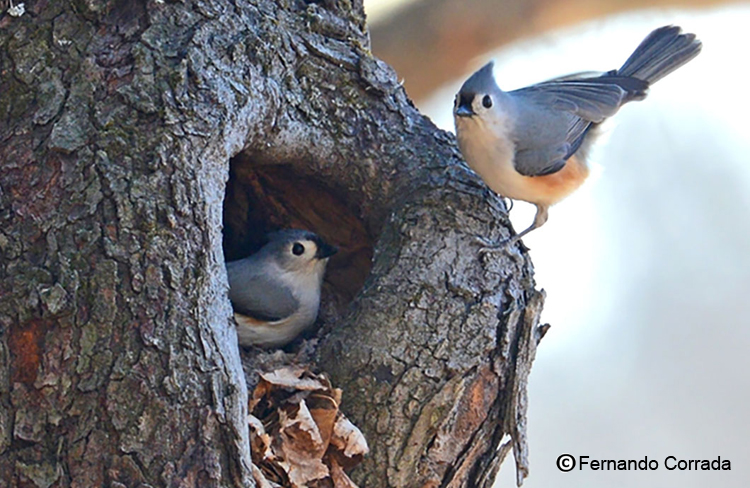 Tufted Titmouse pair nesting in a tree cavity.