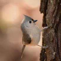 Tufted Titmouse - Ed Konrad