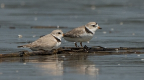 Piping Plover, 5 total - Ed Konrad
