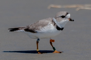 Banded Piping Plover by Charley Moore