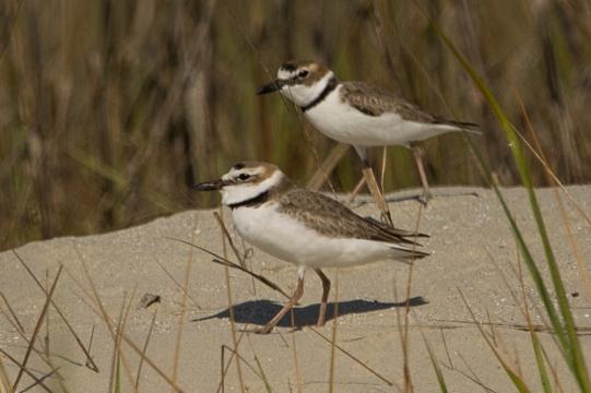 Wilson's Plover males protecting territory - Ed Konrad