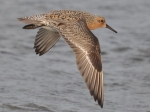 1Red Knot SBI May 16 2010