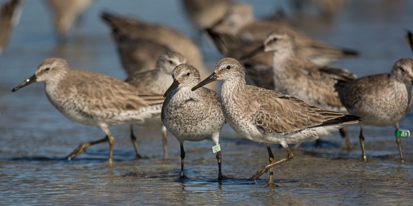 Photo 2: Red Knots in winter plumage at Seabrook Island - Ed Konrad